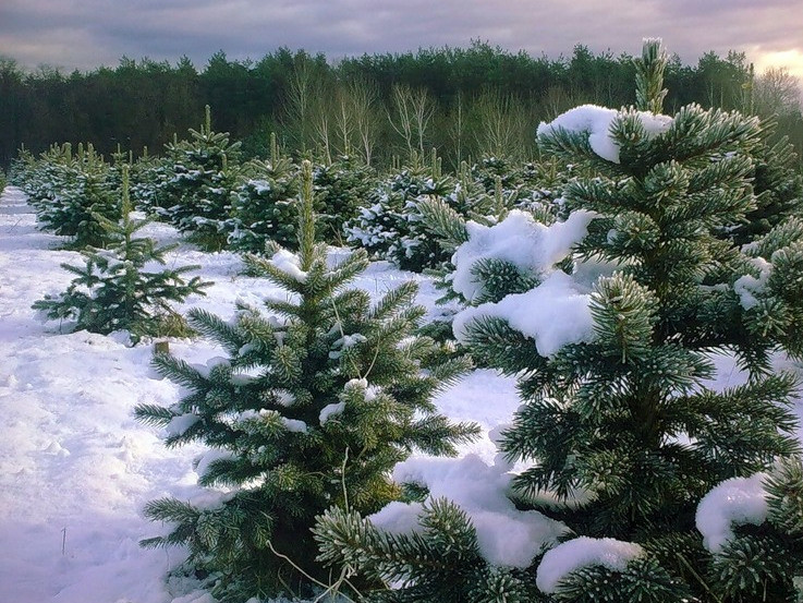 За скільки на Рівненщині можна придбати новорічну ялинку